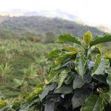 Honduras Liquidambar, žaliava: Organic